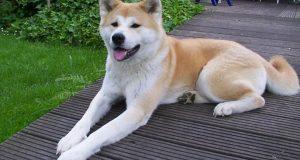 cães japoneses
