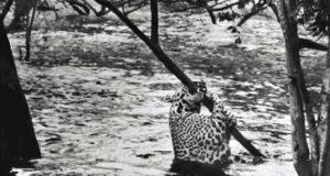 Fotografia sobre a fauna brasileira representada por uma onça pintada