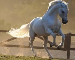 cavalo Mangalarga branco