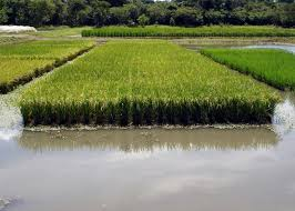 arroz alagado