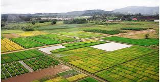 produção nacional de arroz