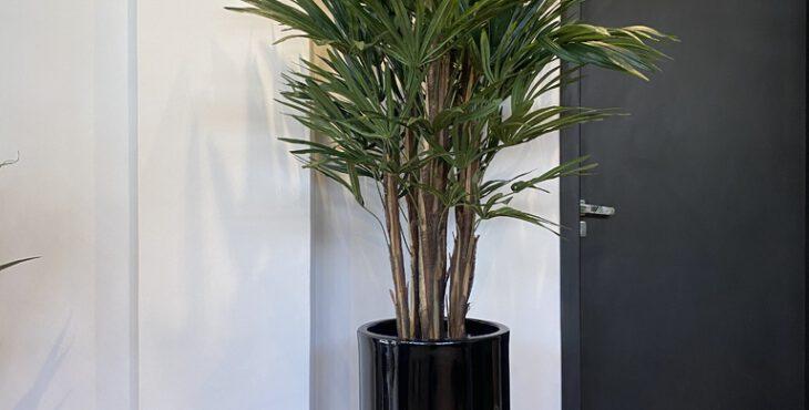 Palmeira ráfia